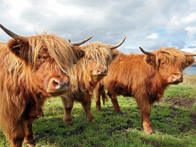 Schotland - Schotse Hooglanders in de Schotse Hooglanden