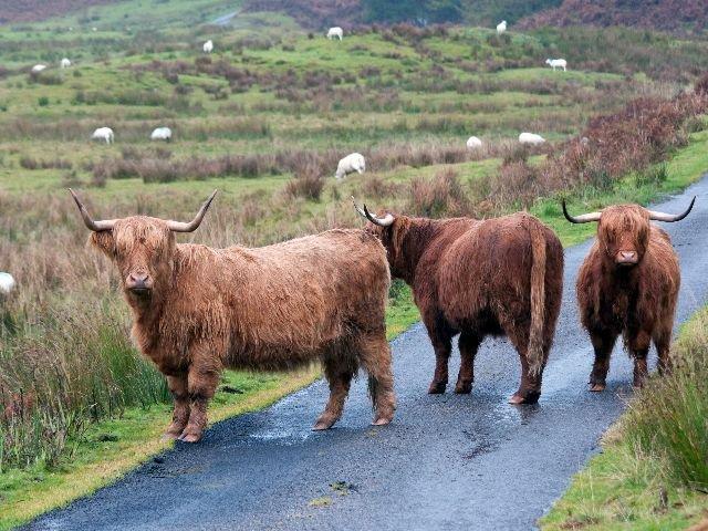 Groot Brittannië - Schotland - Schotse Hooglanders
