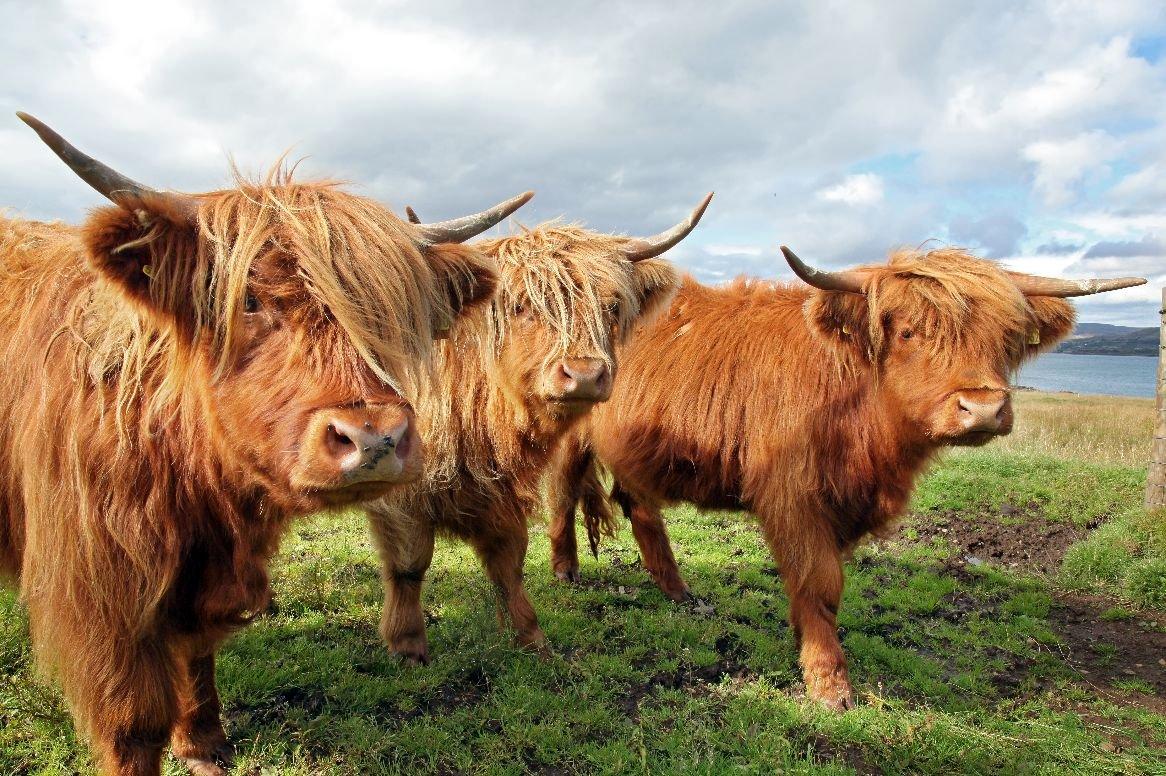Schotland - Schotse Hooglanders