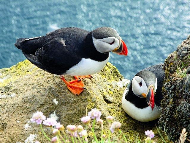 IJsland - Papegaaiduikers