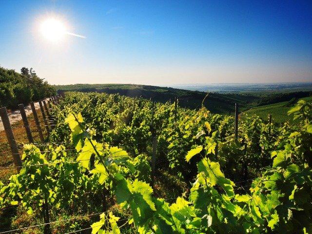 Hongaarse wijngaard