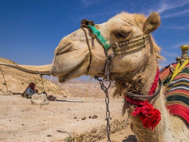 Israël - een kameel in de woestijn van Judea