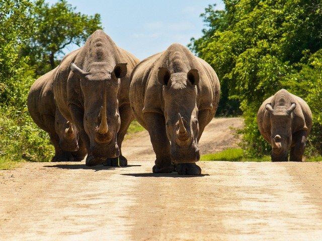 Zuid-Afrika - Wildlife neushoorns