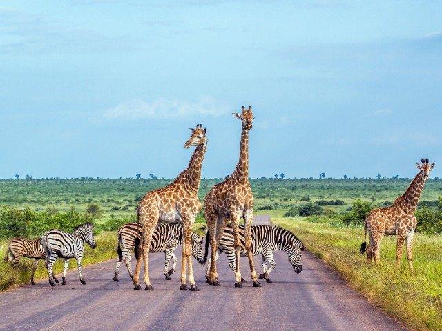Zuid-Afrika - Overstekende giraffen en zebra's