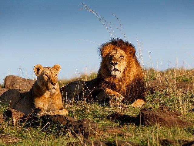 Zuid-Afrika - Leeuwen tijdens de safari