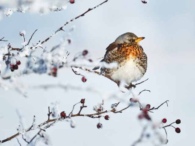 Kramsvogel in de sneeuw