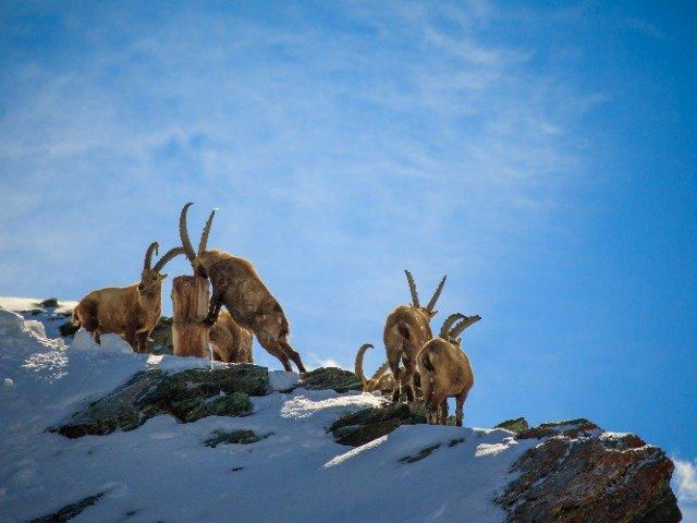 Zwitserland - Zermatt, geiten een de berg