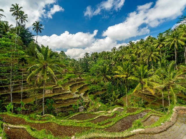 Bali - Rijstvelden nabij Ubud