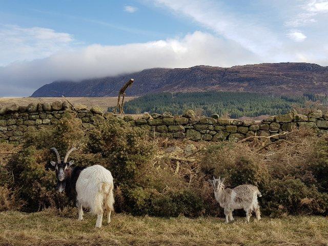 Schotland - gemsen
