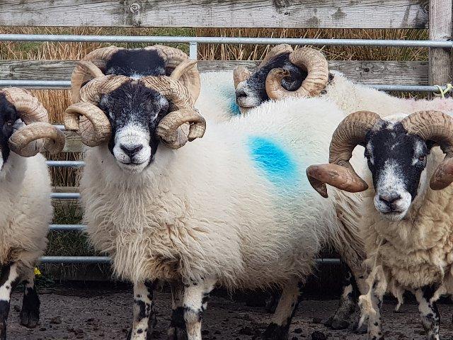 Schotland - schapen