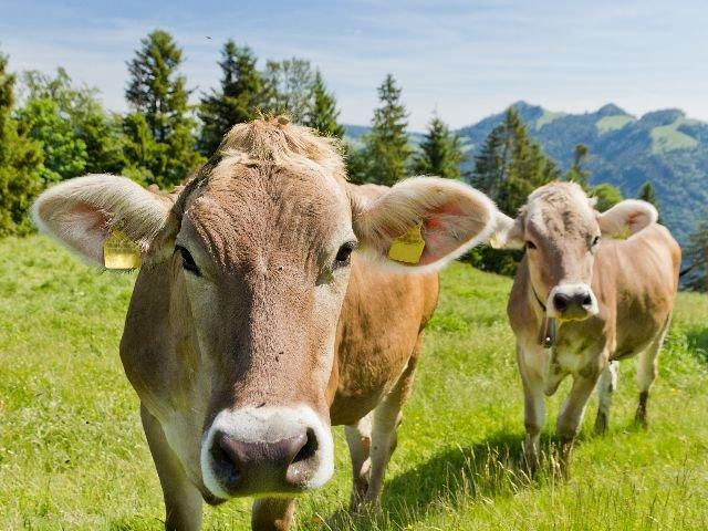 Oostenrijk - Gastvrij Tirol - koeien