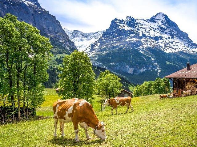 Zwitserland - koeien in de wei