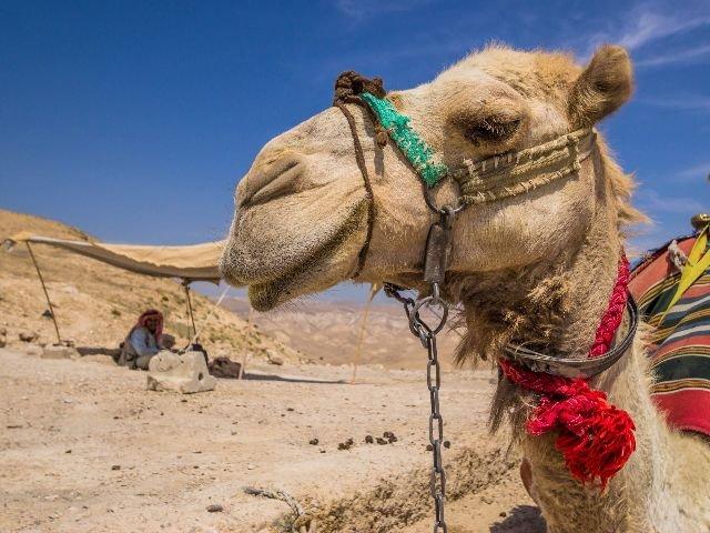Jordanië & Israël - kameel