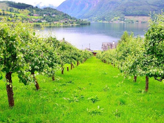 Noorwegen – omgeving Ulvik – appelboomgaard  - cider.jpg