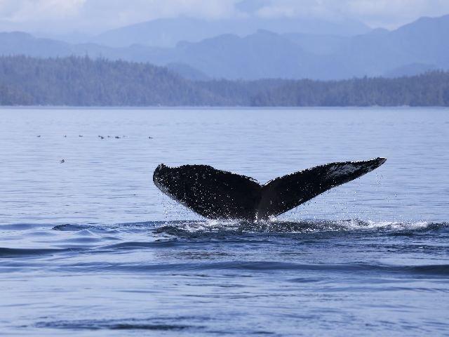 Canada - Inside Passage - walvis