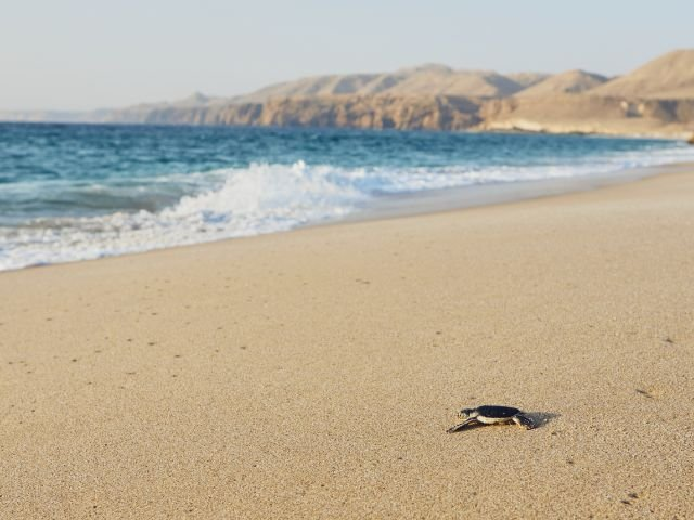 Oman - Ras Al Jinz - Turtle Beach