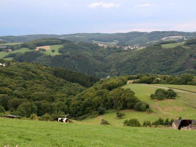 Waldbreitbach - natuur - koeien