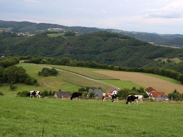 Waldbreitbach - Koeien