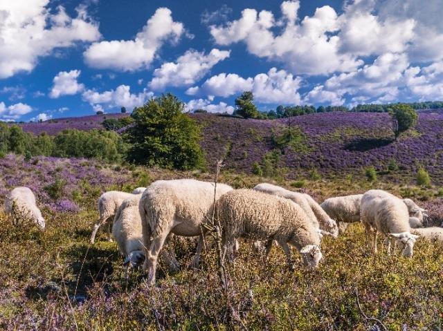 Veluwe schapen