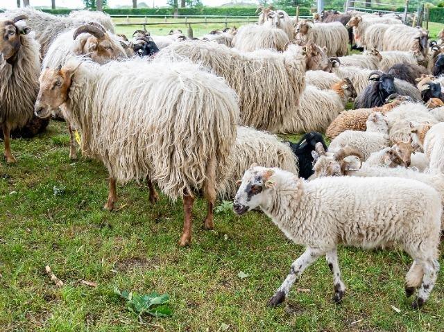 Exloo, schapen