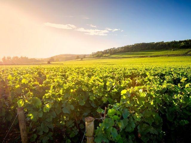 Frankrijk_Bourgogne_ wijngaarden Beaune