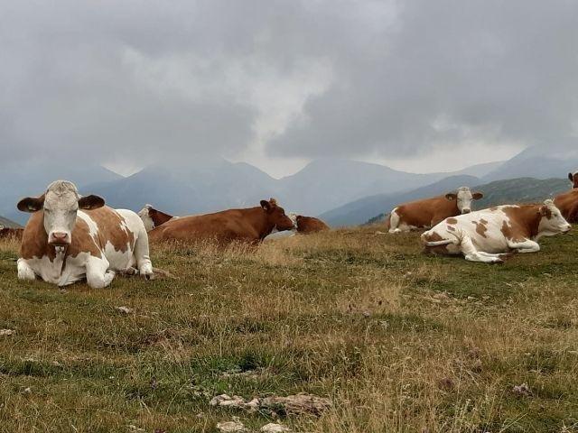 Oostenrijk - Karinthië - koeien op de alm