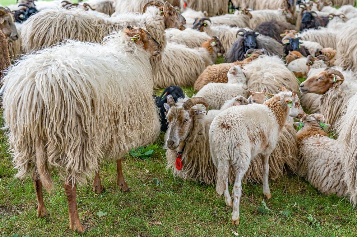 Drentse schapen